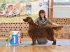 Fansett Teddy Bear. owner Eija Hovila. breeder Minna Viertola