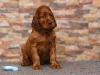 Contario Ode Tarantella, 5 weeks, blue girl