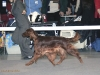 BITCHES OPEN CLASS - Berboss Penny-Piece - CW, CAC, 2nd best breed bitch вл.Artiola, Finland