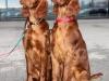 Contario Ode Caprice и ее сестренка Contario Ode Capella (слева), 4,5 месяца