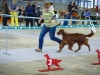 Irish Setter Club Speciality 2013, Moscow, Contario Ode Capella - CW, CC, 3d Best Bitch