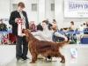 Монопородная выставка Ирландских сеттеров, ранг ПК. Contario Ode Novella - CW, Junior Club Winner 2013, BOB Junior, BEST IN SHOW!