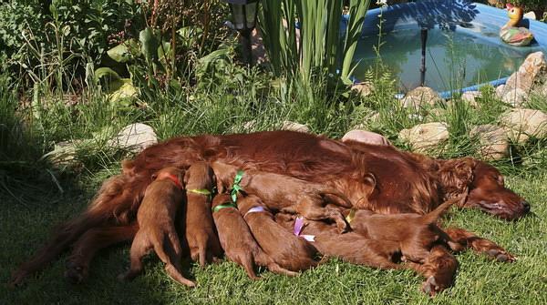 driada-and-pups