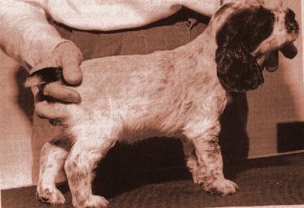 приучение к стойке на столе щенка англ. кокера в возрасте 6 недель