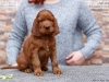 Contario Ode Ch-litter 5,5 weeks