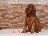 Contario Ode Toccata, 5 weeks, pink girl