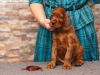 Contario Ode Tamburine, 5 weeks, chocolate boy