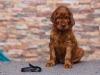 Contario Ode Torelli, 5 weeks, black boy