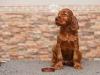 Contario Ode Tamburine, 6 weeks, chocolate boy