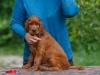 Contario Ode H-litter 8 weeks, red boy
