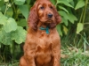 Contario Ode H-litter 8 weeks, emerald boy
