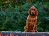 Contario Ode H-litter 9,5 weeks, emerald boy