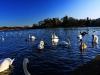 Linlithgow Swan Lake