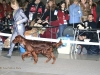 DOGS JUNIOR CLASS - Honeygardens Jet Setter Dioskury (Кори) - CW, J.CAC вл. Исаенко И, Лазарева Н, Москва
