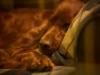 Капри сладко спит