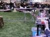 Dioskury Driada в ринге. Лучший ветеран породы, Лучшая сука породы, Победитель Латвии 2011. Эксперт Аленка Покорн (Словения)